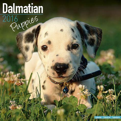dalmatian puppy price dalmatian puppies wall calendar 2016
