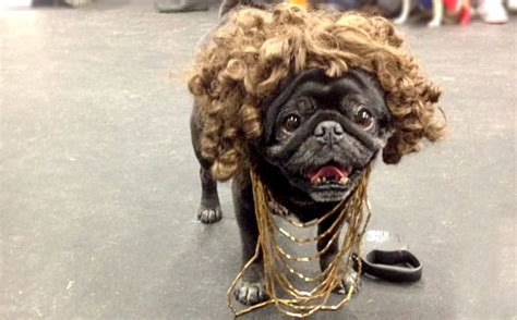 pug costume for humans what a pug looks like pug costumes barkpost