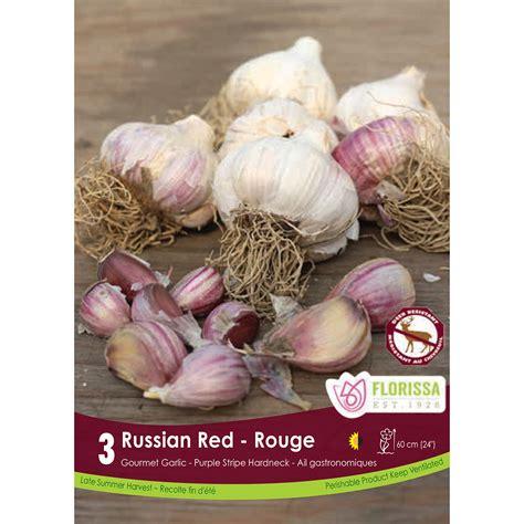 garlic german white hardneck bulbs garlic bulbs arts