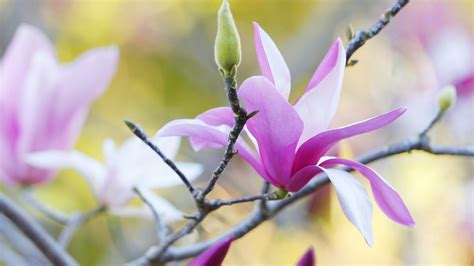 2560x1440 magnolia flowers bloom channel cover magnolia hd wallpaper and background 2560x1440 id