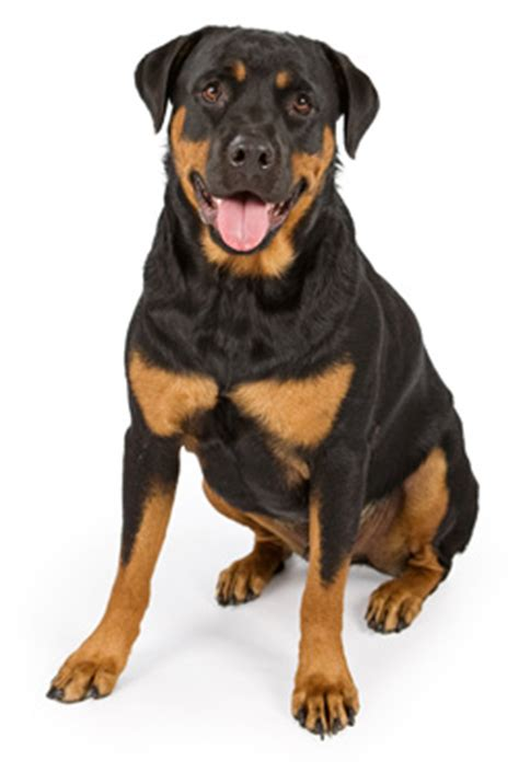 rottweiler eyebrows breeders pedigree breed info rottweiler