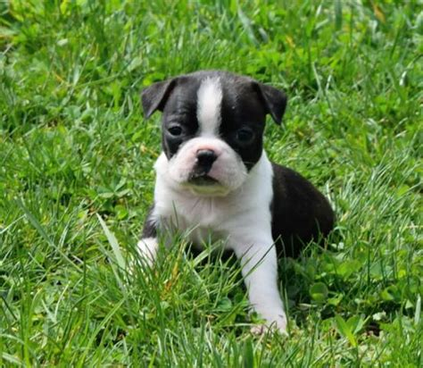 pug puppies for sale in columbia mo boston terrier craigslist kansas free photo breeds picture