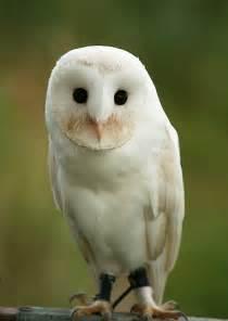 snowy barn owl a white barn owl flickr photo