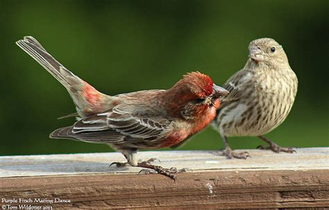 purple finch mating dance flickr photo sharing