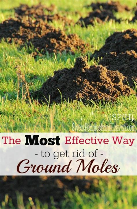 most effective way to get rid of bed bugs how to get rid of ground moles the most effective way