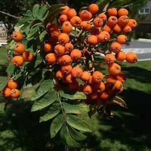 american mountain ash rowan tree pyrus aucuparia