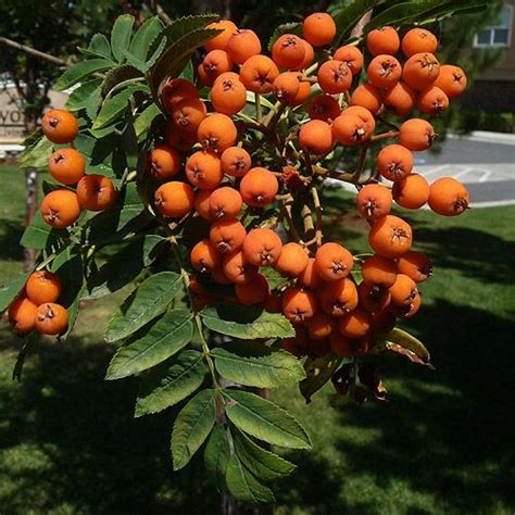 american mountain ash rowan tree pyrus aucuparia