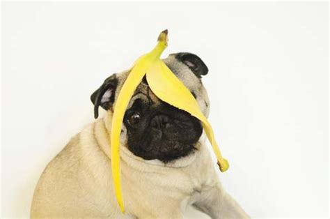 bananas for dogs bananas for dogs 101 can dogs eat bananas