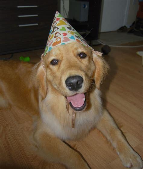 golden retriever birthday pictures golden retrievers breeds picture