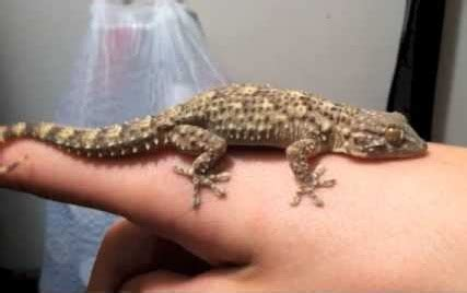 crocodile gecko facts  pictures reptile fact