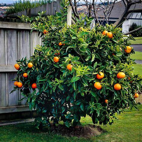 tree with small orange fruit washington navel orange tree the tree center