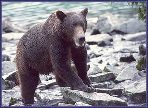 timothy treadwell bear attack timothy treadwell grizzly attack related keywords