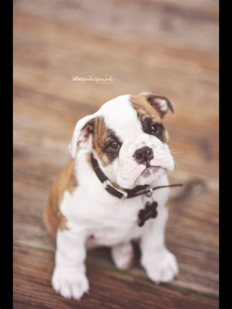 brindle bulldog puppies brindle bulldog puppy just crap i like