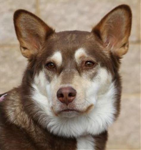 corgi husky mix puppies corgi husky mix puppies corgihuskymix