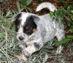 free puppies ventura queensland heeler puppy dogs for sale in ventura county