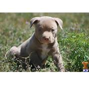 Baby Red Nose Pitbull Puppies