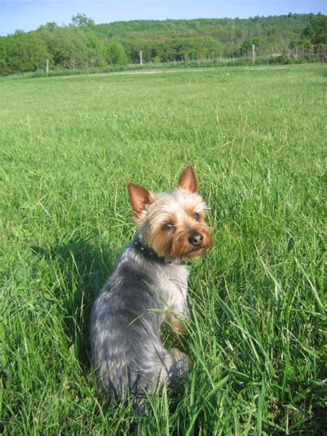 silky yorkie puppy happypuppycafe view topic terrier vs silky terrier breeds picture