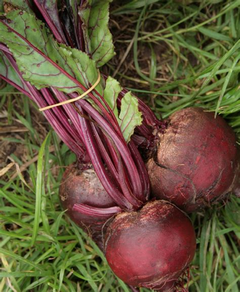 beet root vegetable free desktop background wallpapers healthey colourful