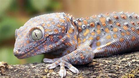 geckos garten heidelberg gecko ruft gegen simulierten stra 223 enl 228 rm an welt