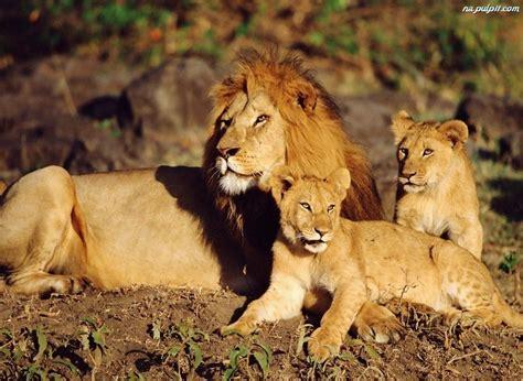 imagenes de unos leones lwiątka lew młode na pulpit