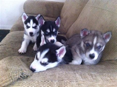 husky puppies with blue for sale siberian husky blue eyed pups for sale norwich norfolk pets4homes
