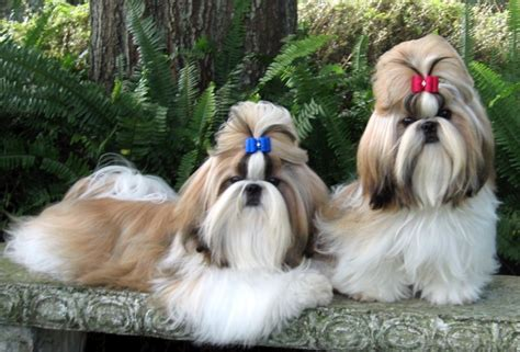 shih tzu pupies all list of different dogs breeds shih tzu dogs