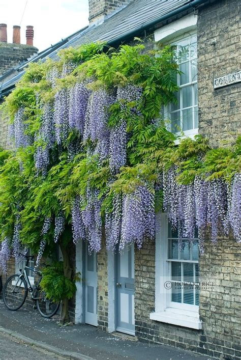 climbing plants for front of house best 25 wisteria ideas on flower vines