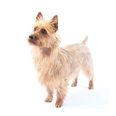 yorkie medium ears australian terrier find a breed petcentric by purina