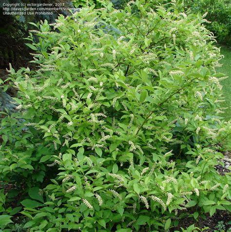 plantfiles pictures virginia sweetspire virginia willow gooseberry tassel white saturnalia