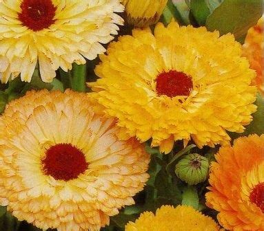 Bunga Poppy Mix Colour jual berbagai bibit bunga hias jual bibit bunga murah