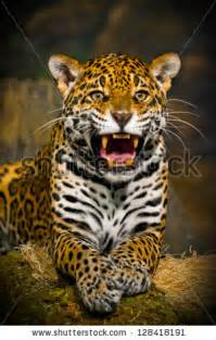 Roaring Jaguar Leopard Roar Wallpaper 1920x1080 Wallpoper 448455