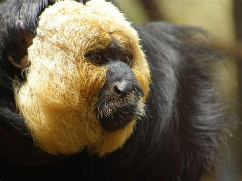 monkey with looking monkey species listoid