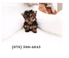 yorkie puppies for sale in alexandria la sphynx kitten available for reservation animals abita springs louisiana