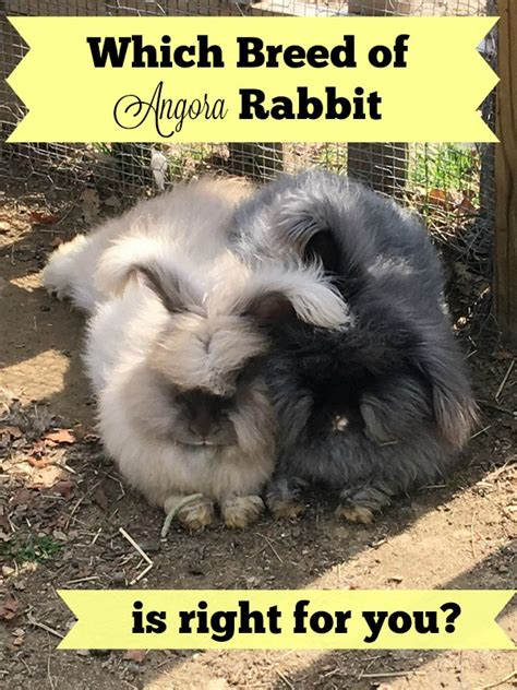 which breed are you what breed angora rabbit is right for you