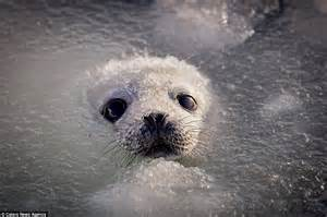 puppy seal harp seal coaxes two week pup into the icy