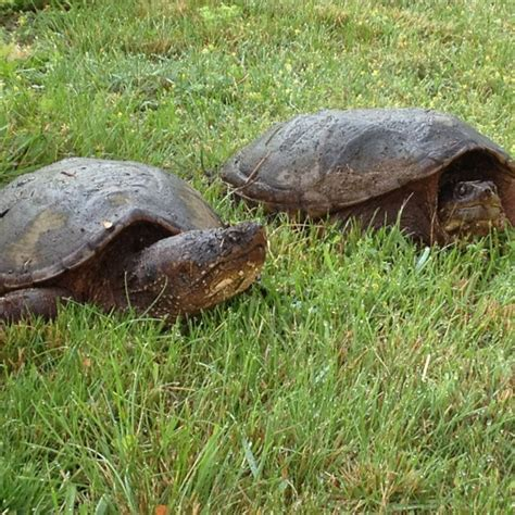 Backyard Turtles by Backyard Snapping Turtles Creatures