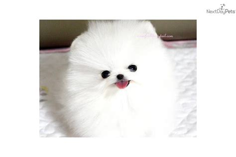 teacup pomeranians for sale in virginia poshfairytail teacup pomeranian boy pomeranian puppy for sale near richmond