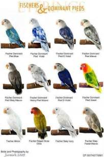 lovebird colors world types of colorful birds mutation of the