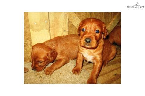 setter def irish setter puppy for sale near tuscaloosa alabama