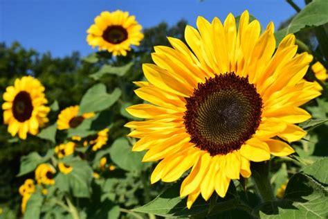 imagenes de uñas girasoles sunflowers how to plant grow and care for sunflower