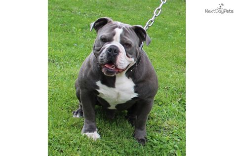 olde bulldogge puppies for sale near me olde bulldogge puppy for sale near minneapolis st paul minnesota a1d2e9c1