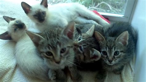 kittens in the bay area maine coon mix and siamese conta
