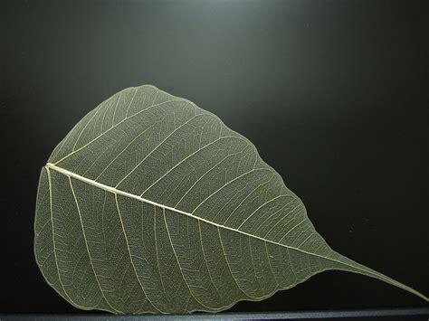the mortal heroine the bodhi leaf