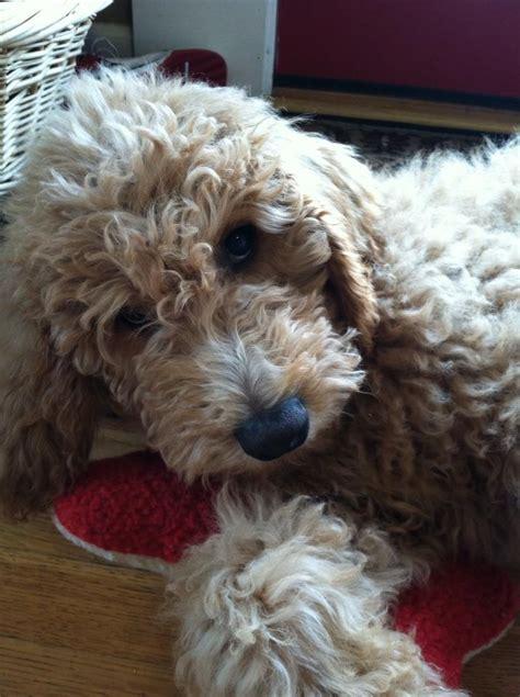 like doodle goldendoodle puppy haircut doodles