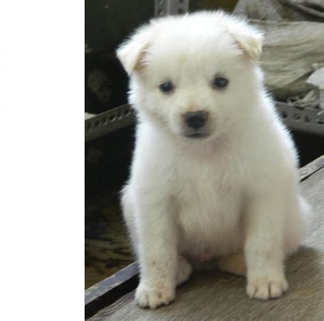 price of pomeranian puppies pomeranian dogs price list in india