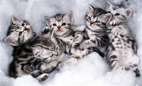 Cool Trend Funny Pictures: Tabby kittens, silver bengal