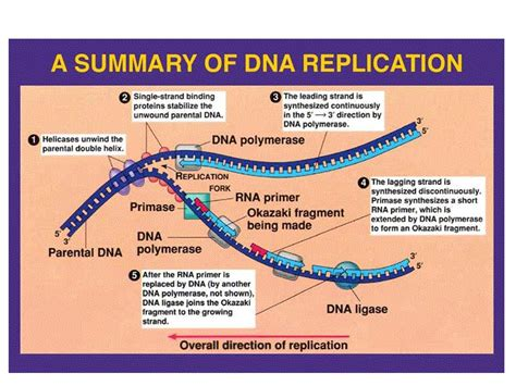 4 proteins involved in dna replication nanohub org resources illinois phys550 lecture 21