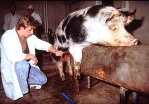 eber beim decken schweinefabrik f 252 rst hans adam liechtenstein