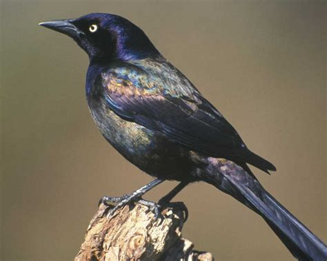 common grackle audubon field guide