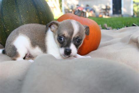 petco puppy adoption adoption at petco breeds picture